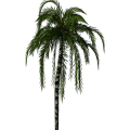 Greenhouse-Palm-jubaea01.png