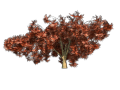Greenhouse-jap-maple-red.png