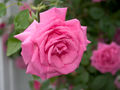 Rose Rose 211.jpg
