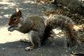 Ecureuil à Central Park 698.jpg