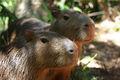 Couple de Capybaras 1025.jpg