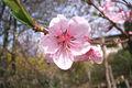 Fleur de Pêcher 218.jpg