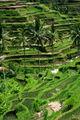 Palmiers et rizière 1030.jpg