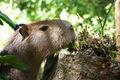 Capybara 1026.jpg