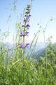 Fleur des Alpes 217.jpg