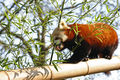 Petit panda (Firefox) 661.jpg