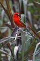 Cardinal 920.jpg