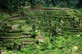 Rizière à Bali 1033.jpg