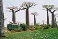 Baobabs 825.jpg