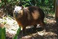 Capybara 1024.jpg