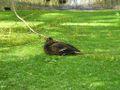 Canard colvert endormi 14.jpg