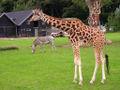 Girafe 109.jpg