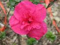 Fleur Rose 3.jpg