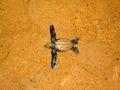 Emergence d'une tortue luth (Guyane) 837.jpg