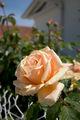Rose Jaune 210.jpg
