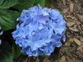 Fleur bleue 4.jpg
