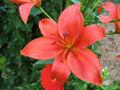 Fleur rouge 106.jpg