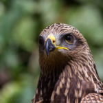 Buse variable (Buteo buteo) - http://fr.wikipedia.org/wiki/Buse_variable