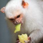Ouistiti argenté (Mico argentatus) - Silvery marmoset - Sagui-
