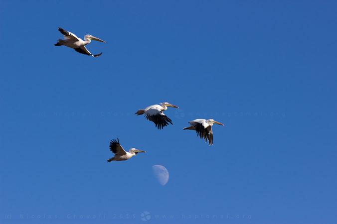 Pélicans blancs (Pelecanus onocrotalus)