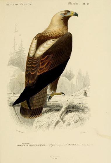 Aigle Impérial Orbigny jpg