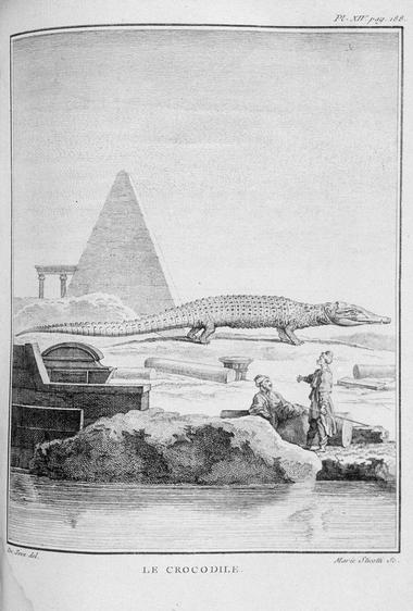 Crocodile Lacépède HNQOS jpg