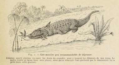 Pluvian Crocodile Excentrique jpg