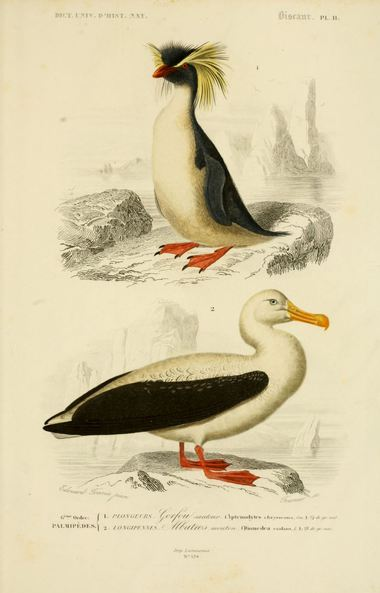 Gorfou Albatros Orbigny DUHN jpg
