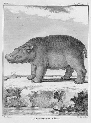 Hippopotame Buffon HNGP jpg