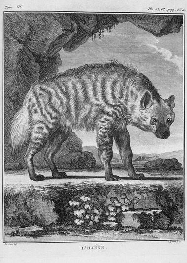 Hyène Buffon jpg