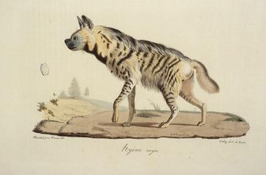 Hyène Rayéee Cuvier jpg