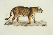 Jaguar Mâle Cuvier jpg