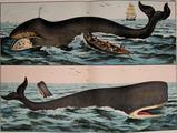 Baleine Kirby NHAK jpg