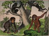 Chimpanzé Kirby NHAK jpg