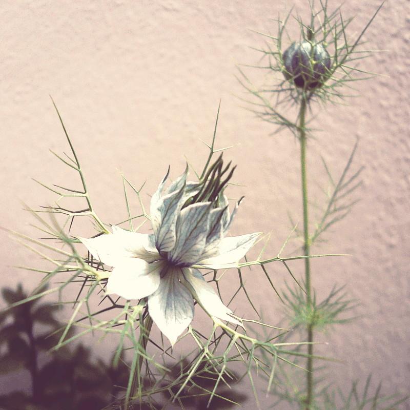 Une fleur bleu pâle nervurée de bleu marine et un bouton plus loin, ses feuilles sont divisées en lanières pointues comme des aiguilles et ses pétales forment une base en corolle que surplombent un groupe de pistils vert foncé cerné par un bouquet de pétales