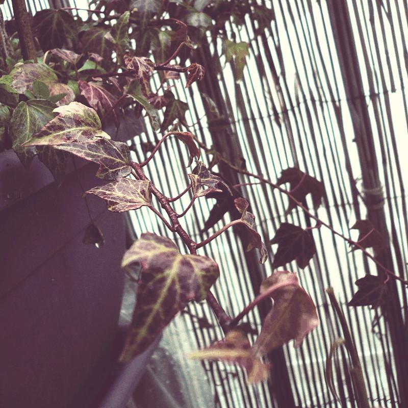 Sur le fond d'une rambarde occultée par du bambou et dépassant d'une jardinière mauve les tiges d'un lierre rouge foncé aux nervures jaune vert