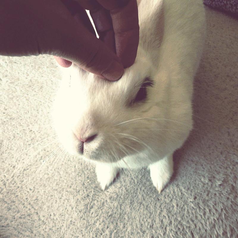 Sur un plaid en microfibre beige clair une lapine hermine tend sa tête vers une main qui du bout des doigts la caresse entre les oreilles