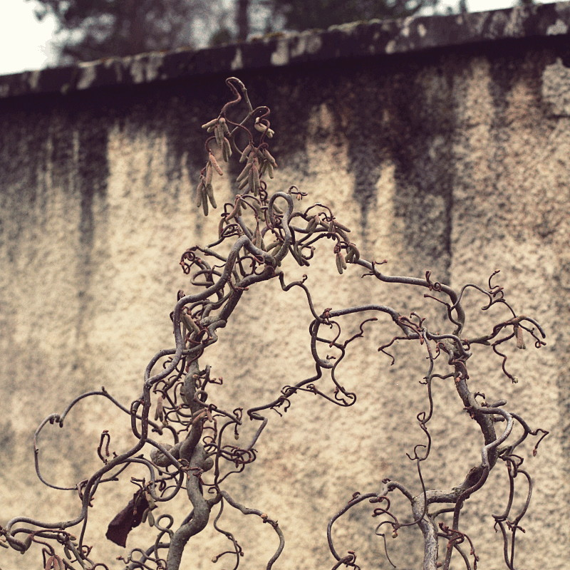 Before a plastered wall whose rim is blackened by humidity, a shrub with bare and knotty branches in the shape of arabesques