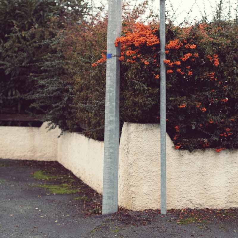 The corner of a plaster and wood fence behind two light gray posts and overlooked by a thick hedge of persistent dark green, brown and red in places laden with small orange berries