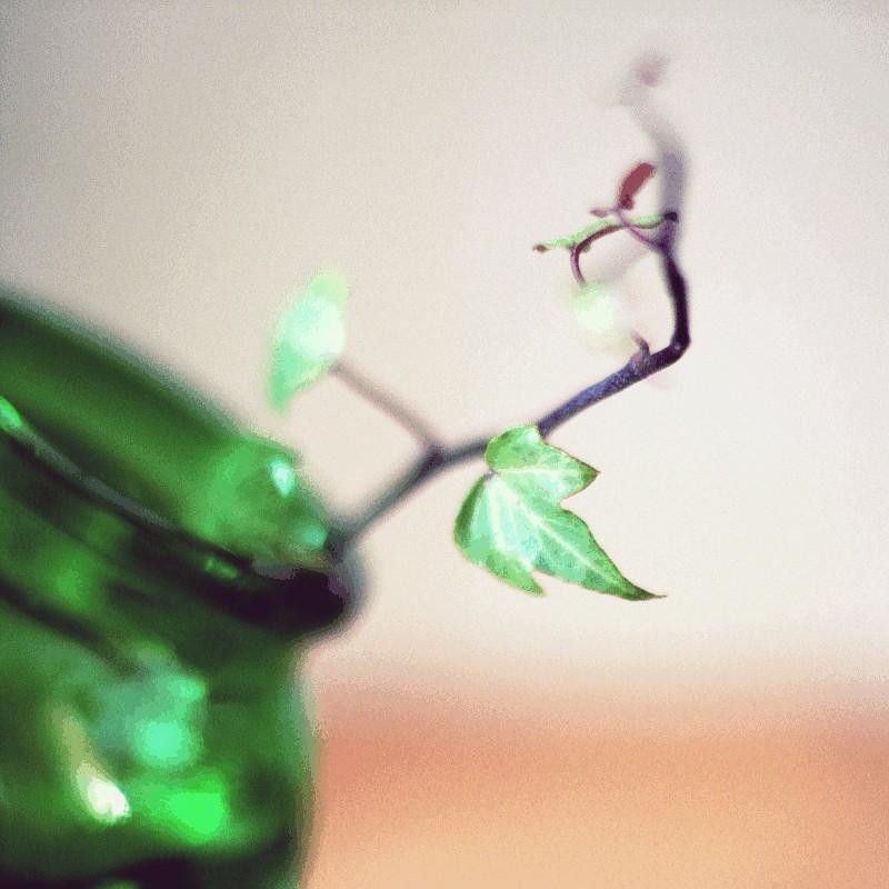 Gros plan macro sur un brin de lierre à la tige rouge foncé et plongée dans un vase en verre vert bouteille