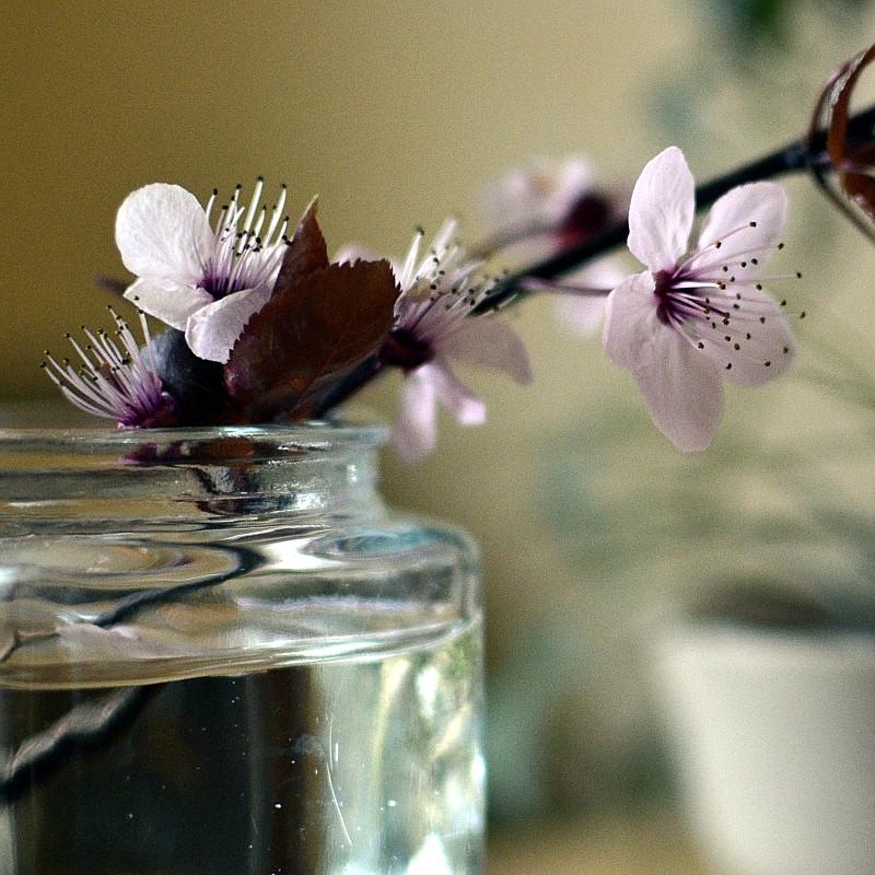 Branche de prunier en fleurs dans un petit vase en verre
