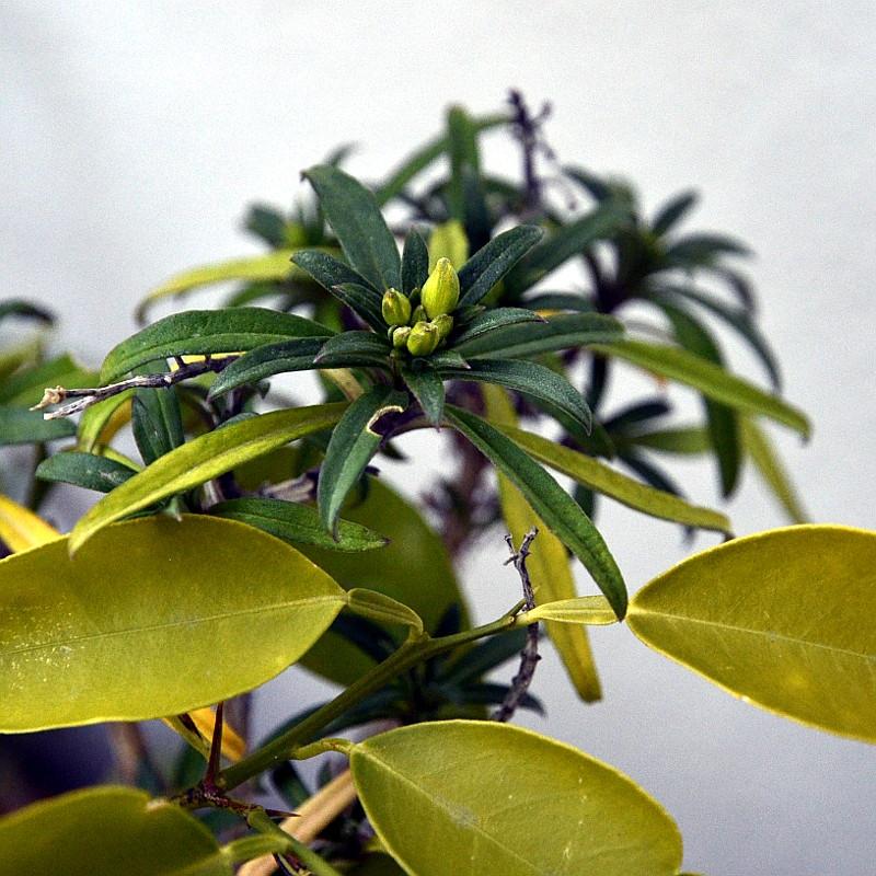 Bourgeons de fleurs au centre de fines feuilles disposées en étoile d'une plante verte