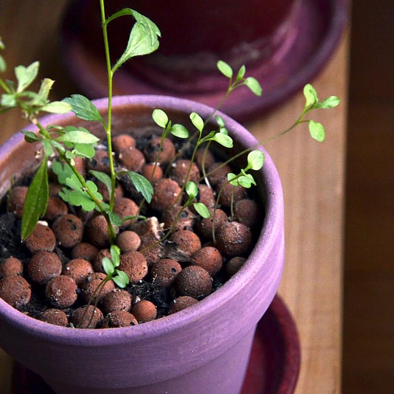 Petites pousses fragiles dans le lit de billes d'argile d'un pot violet