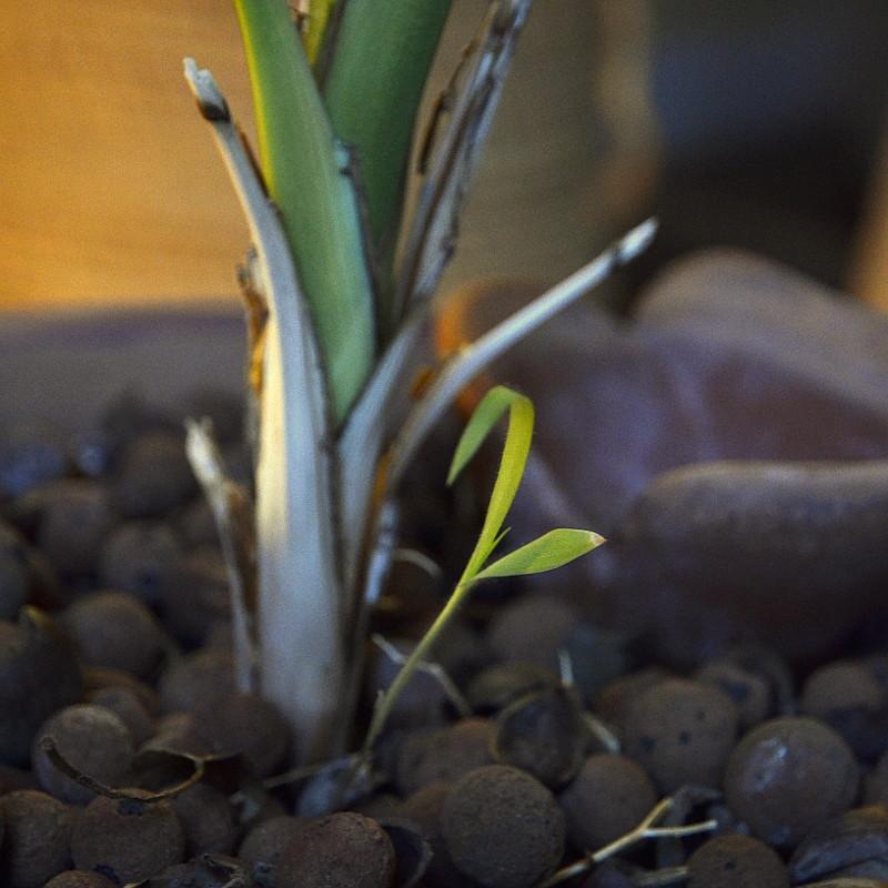 Deux jeunes feuilles vert tendre d'une petite pousse au pied d'un palmier d'intérieur