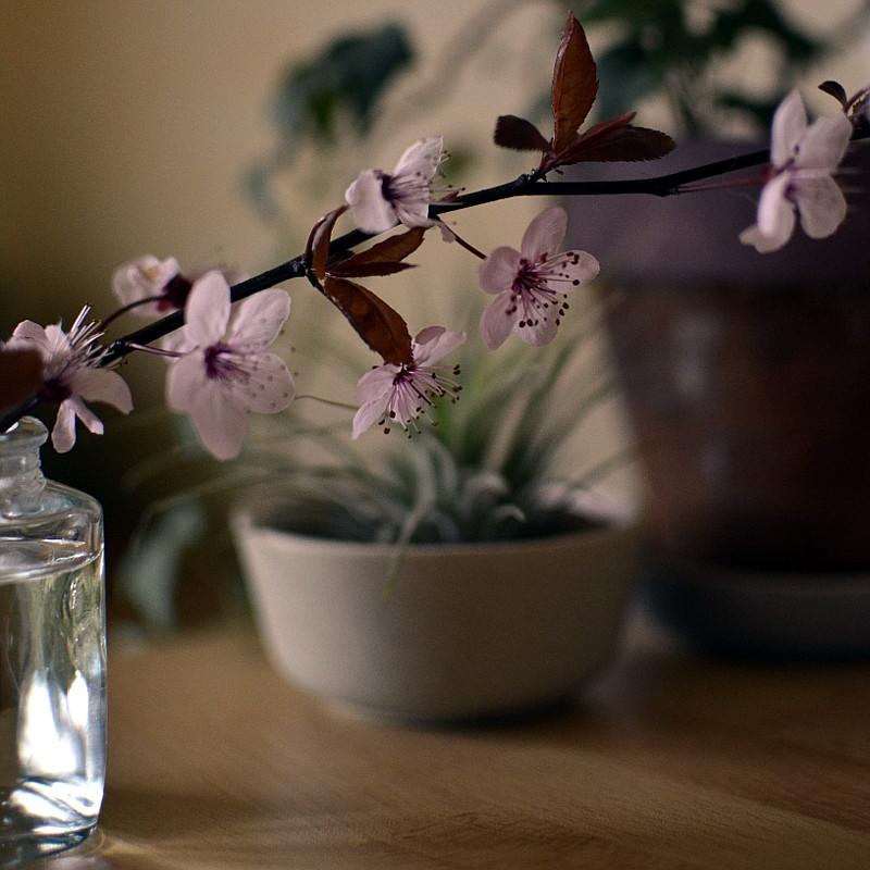Branche de prunier en fleurs dans un petit vase en verre avec en fond et flou un Tillandsia et un lierre en pots