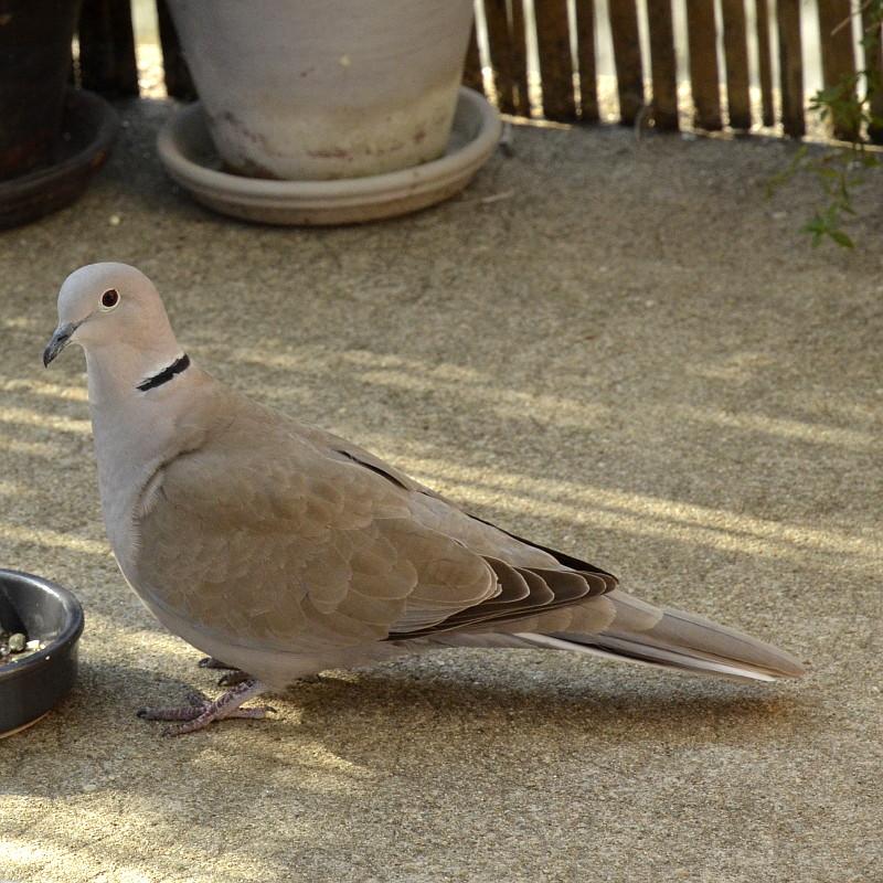 Une tourterelle sur un balcon au plumage du même ton gris beige que le sol en béton, vue de profil elle regarde l'objectif, derrière elle on devine des pots et une rambarde habillée de bambou