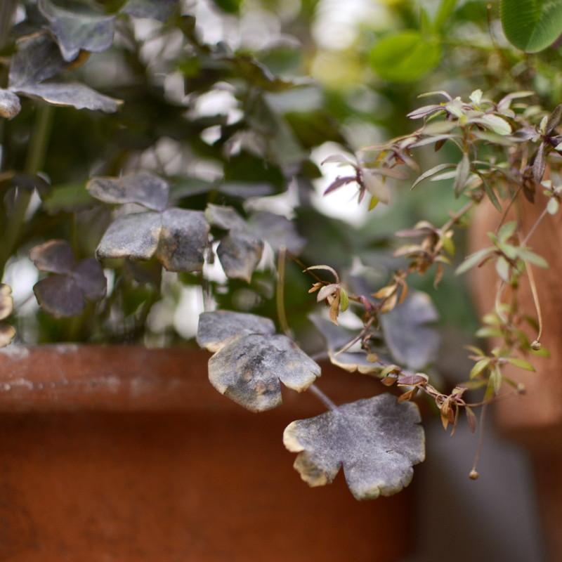 Détails de feuilles dépassant de pots en terre cuite, rondes, gris mauve, fânées, ou fines, allongées brunes, vertes ou beiges