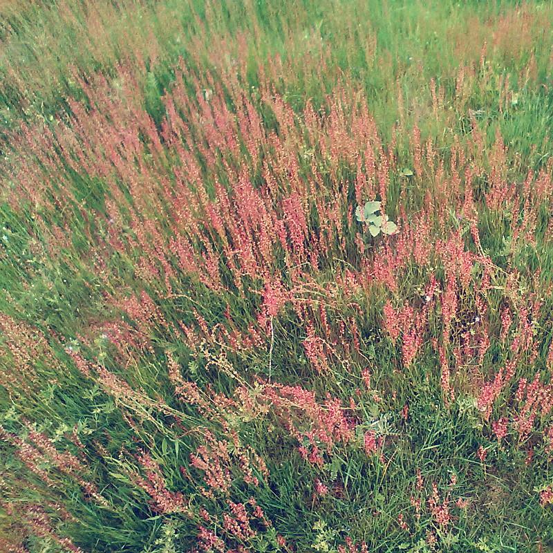Par terre de prairie parsemée de petites fleurs en épis couleur vieux rose