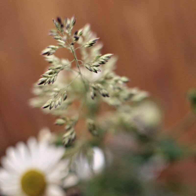 Gros plan macro sur les grains d'un brin d'agrostis dans le bouquet de marguerites