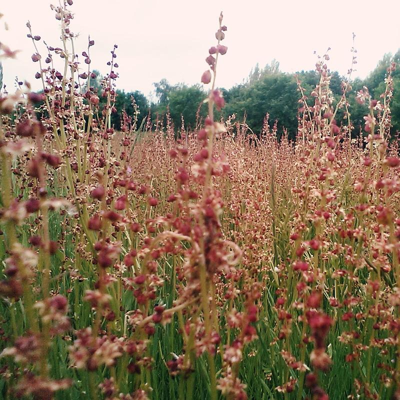 Dans une prairie bordée d'un bois, plan en coupe sur les sommités en petites clochettes des fleurs en épis couleur vieux rose